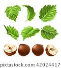 realistic illustration of a peeled hazelnut and green hazel leaves 42024417