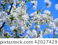 Blossoming cherry tree. White flowers 42027429