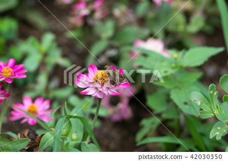 Sesame leopard on pink colored flower 42030350
