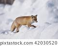눈과 북극 여우 (홋카이도) 42030520