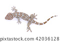 gecko  isolated on  white background 42036128