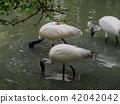 Asian openbill or Asian openbill stork bird. 42042042
