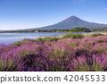 후지산, 라벤더, 가와구치 호수 42045533