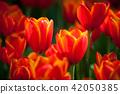 Tulip garden 42050385