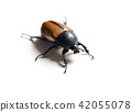 Rhinoceros beetle isolated on white 42055078