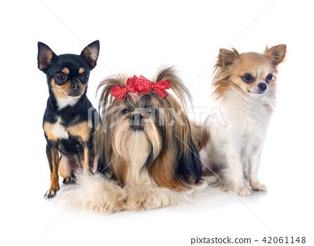 Shih Tzu and chihuahuas 42061148