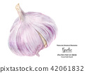 Watercolor garlic bulb 42061832