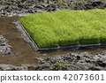 개구리, 초여름, 양서류 42073601