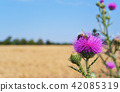 Macro photo, a bee collects nectar on a Carduus flower of a thistle. 42085319