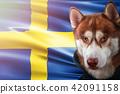 sweden, dog, siberian 42091158