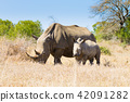 White rhinoceros with puppy, South Africa 42091282