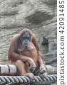 the orangutan sits having thought on a tree 42091485