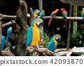 macaw, birds, parrot 42093870