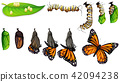 The butterfly life cycle 42094238