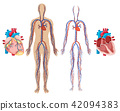 Human Heart and Cardiovascular System 42094383
