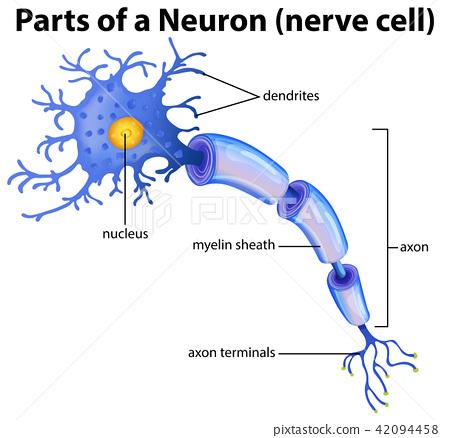 Part of a Neuron Diagram 42094458