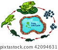 The frog life cycle 42094631