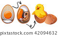 Chicken Egg Life Cycle 42094632