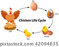 Chicken life cycle diagram 42094635