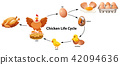 Science of Chicken Life Cycle 42094636