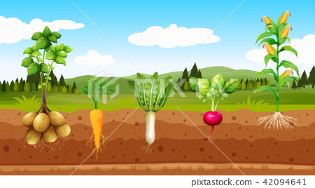 Agriculture Vegetables and Underground Root 42094641