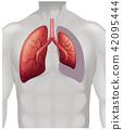 肺部 人类 肺 42095444