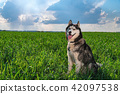 Portrait happy husky dog sitting on green field. 42097538