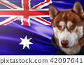 Patriotic dog proudly in front of Australia flag. 42097641