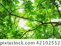 Oak leaves background in summer with beautiful sunlight 42102552