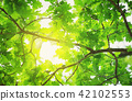 Oak leaves background in summer with beautiful sunlight 42102553