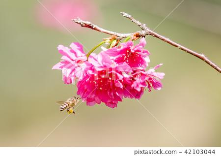 亞洲台灣桃園角板山櫻花花卉藍天白雲留白素材植物保育養護 42103044