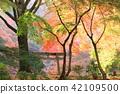 단풍나무, 단풍, 수목 42109500