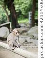 monkey, monkeys, japanese monkey 42114506
