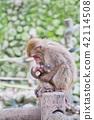 日本猴子父母和孩子 42114508