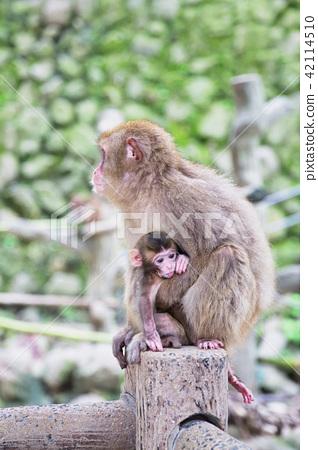 日本猴子父母和孩子 42114510