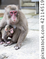 Japanese monkey parent and child 42114519