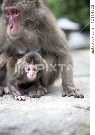 Japanese monkey parent and child 42114522