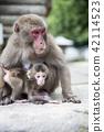 日本猴子父母和孩子 42114523