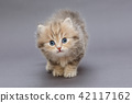 Small shaggy kitten 42117162