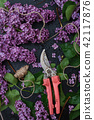 Bunch of purple lilacs and hand pruner 42117876