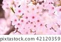 봄 벚꽃 42120359