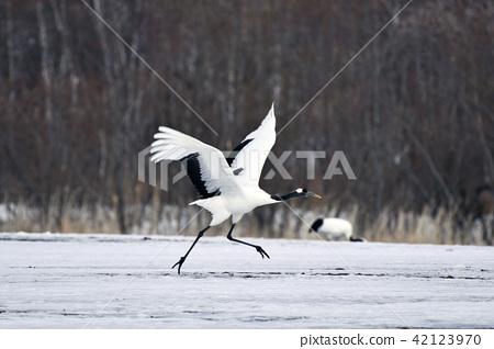 Crane flying 42123970