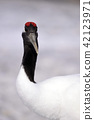 crane, red-crowned crane, bird 42123971