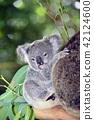 koala bear, koala, child 42124600