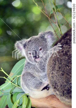 Koala child 42124600