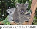 koala bear, koala, parenthood 42124601