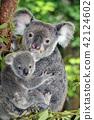 หมีโคอะล่า,ความเป็นพ่อแม่,กอด 42124602