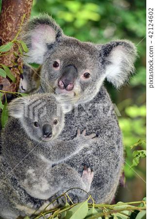 Koala parent and child 42124602