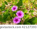 pink flowers (Ipomoea pes-caprae) and beach  42127393