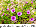 pink flowers (Ipomoea pes-caprae) and beach  42127394